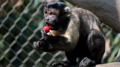 Fruit maakt dierentuindieren te dik en dus krijgen ze enkel nog groenten