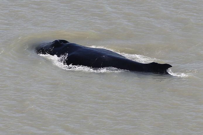 De bultrugwalvis werd gespot in de East Alligator River in deelstaat Northern Territory.
