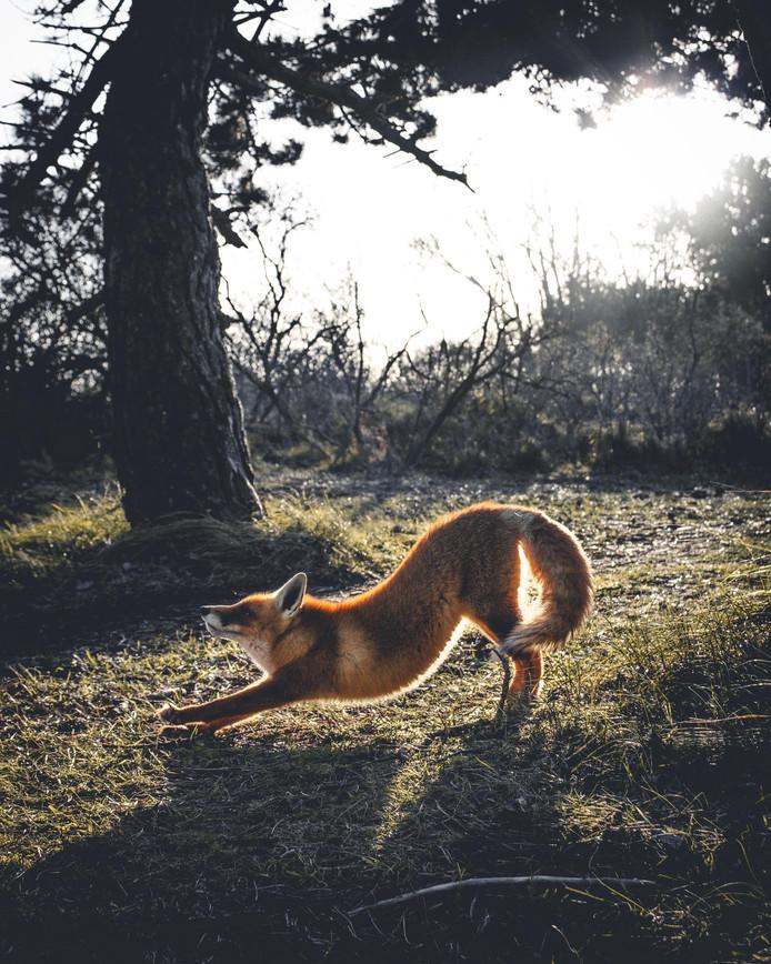 De door Mylène Sopacua vereeuwigde Amsterdamse vos die nu op Instagram de wereld overgaat.