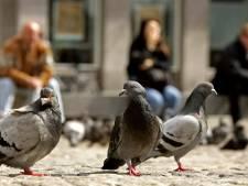 Opmerkelijk onderzoek: duiven kunnen hun tenen verliezen door mensenhaar