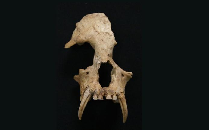 Uitgestorven gibbonsoort