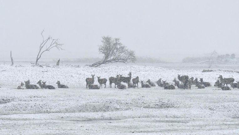 Grote grazers in de winterse Oostvaardersplassen. Beeld Martijn de Jonge / Hollandse Hoogte