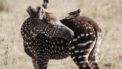 Heel bijzondere zebra in Afrikaanse savanne