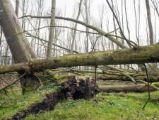 Dode bomen in 'mikadobossen' in Flevoland blijven voorlopig liggen