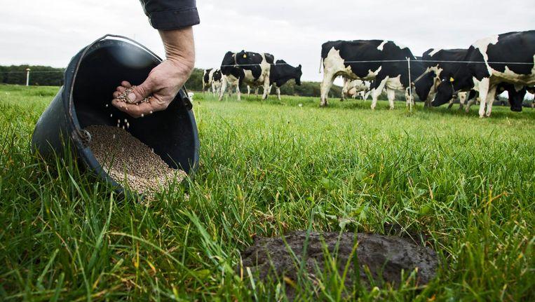 Een boer strooit met kunstmest over een koeienvlaai in de wei bij een melkveehouder in Bunnik. Beeld anp