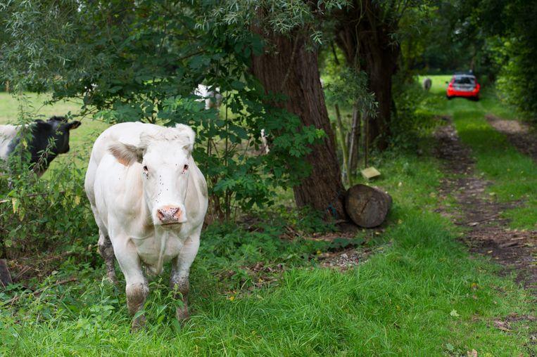 MECHELEN - In Mechelen moest de politie al een keer uitrukken voor losgebroken koeien. (ARCHIEF)