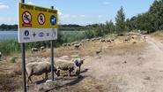 Bijna 300 schapen grazen op oevers Kanaalplas