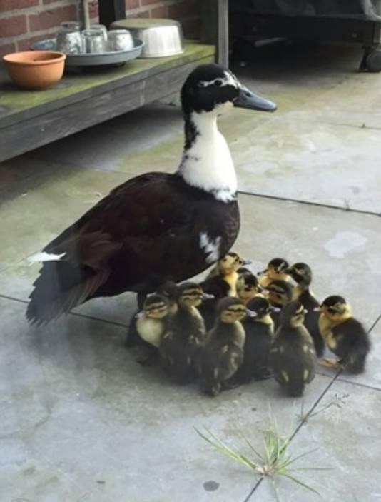 Moedereend met haar kuikens in Beuningen.