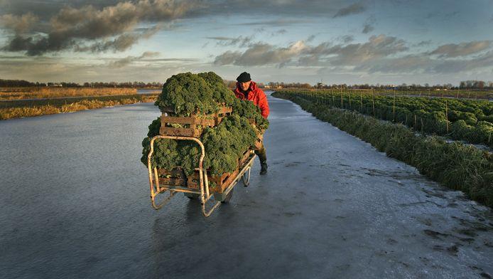 Tuinder Peter Vroegop vervoert boerenkool over het ijs.