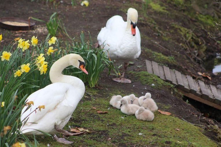 Deze vijf kuikens bleven gespaard en kunnen in alle rust verder groeien in Brugge.