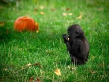 VIDEO. Schattig! Ook dieren van de Antwerpse zoo vieren Halloween