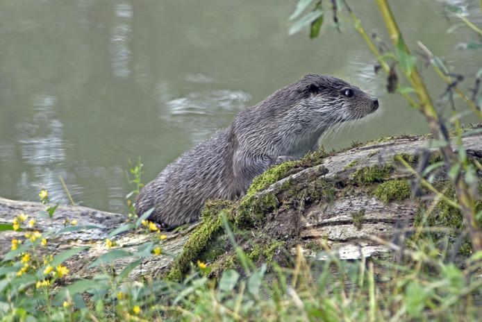 Otter (Lutra lutra) (rode lijst NL - Reinhardswald, Kassel, Th