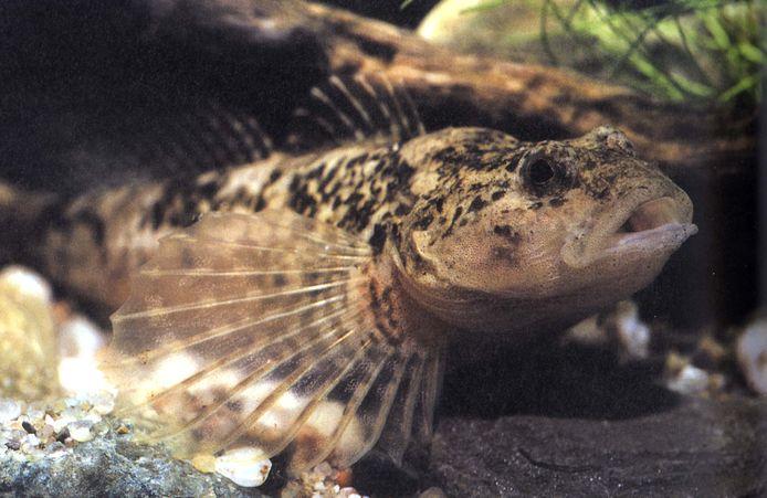 Ter illustratie, een rivierdonderpad.