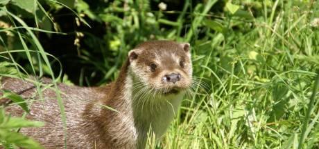 Volle kraamkamer bij otter, maar de bever zoekt zich rot naar partner