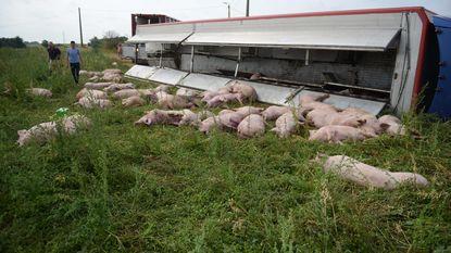 Truck onderweg naar slachthuis kantelt: 40 varkens overleden