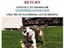 Gus is weg! Wie roofde skatende bulldog uit de tuin?