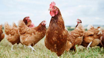 56 bezwaren tegen biologisch legkippenbedrijf
