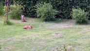 Schepen Devlies spot vossen op amper 2 kilometer van stadhuis