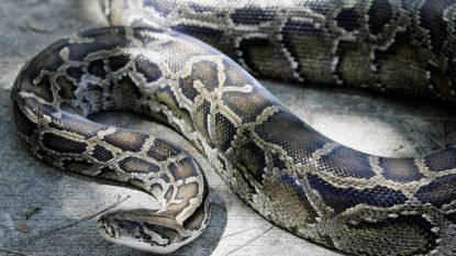 Man wil rustig tv kijken, maar wordt dan opgeschrikt door reusachtige python in de muur van zijn woonkamer