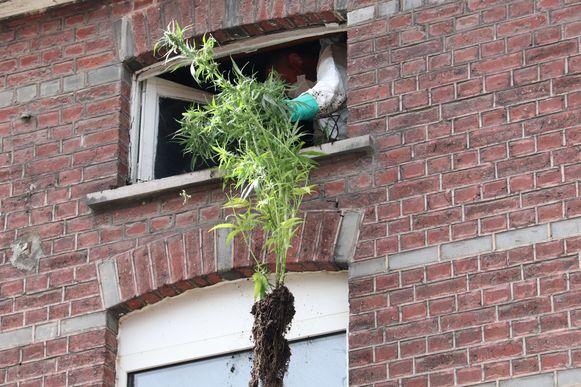 De planten werden uit de woning gehaald en meteen vernietigd.
