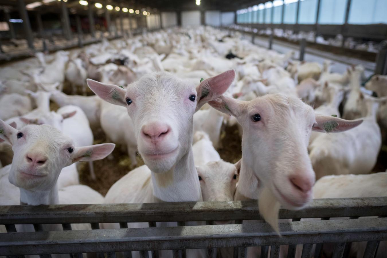 De geiten van de Gendtse geitenhouderij Bouwens.