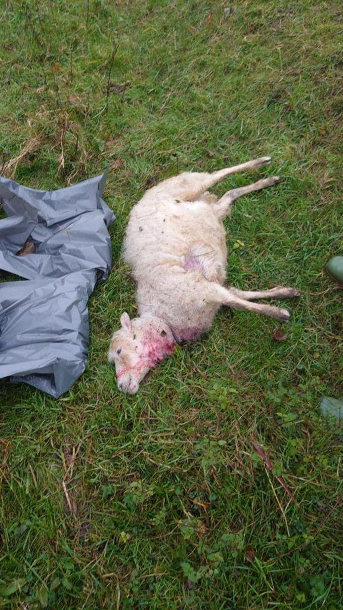 Een van de zeker tien dode schapen in de gemeente Oss.