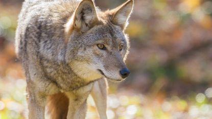 Amerikaanse vader wurgt met blote handen coyote die zoontje (2) aanvalt