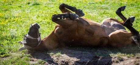 Calimero: uitzonderlijk paard van bijzondere Nunspeetse eigenaar