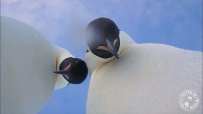 Nieuwsgierige keizerspinguïns 'nemen selfie' op Antarctica