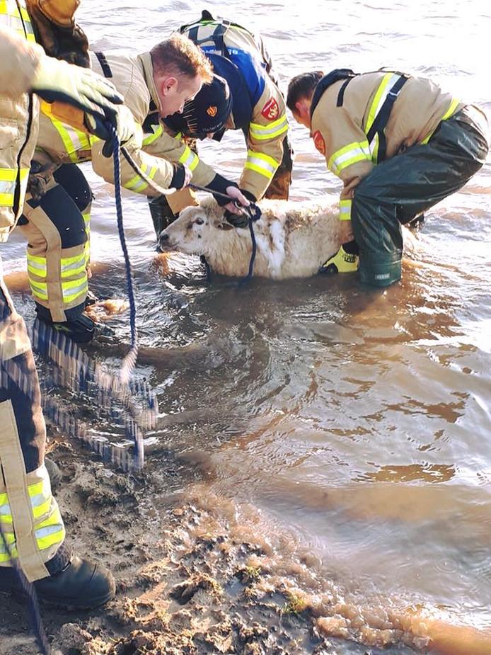 In de uiterwaarden bij Heteren verdronk een groot aantal schapen. De brandweer startte een reddingsactie.