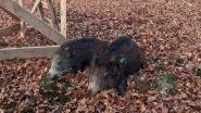Vier everzwijnen geschoten in Voeren na drukjacht