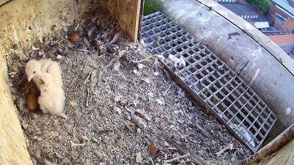 Klein gezinnetje voor Sint-Niklase slechtvalken dit voorjaar: twee van de vier eieren komen uit