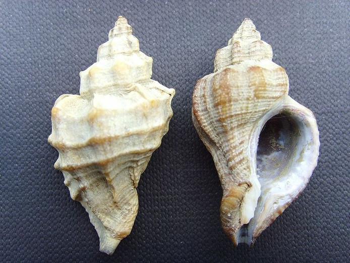 De Japanse oesterboorder. foto Wikipedia