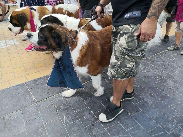De 50ste Sint-Bernardusfeesten in Nieuwpoort-Bad. Sommige honden droegen een slabbetje en dat was vaak ook nuttig
