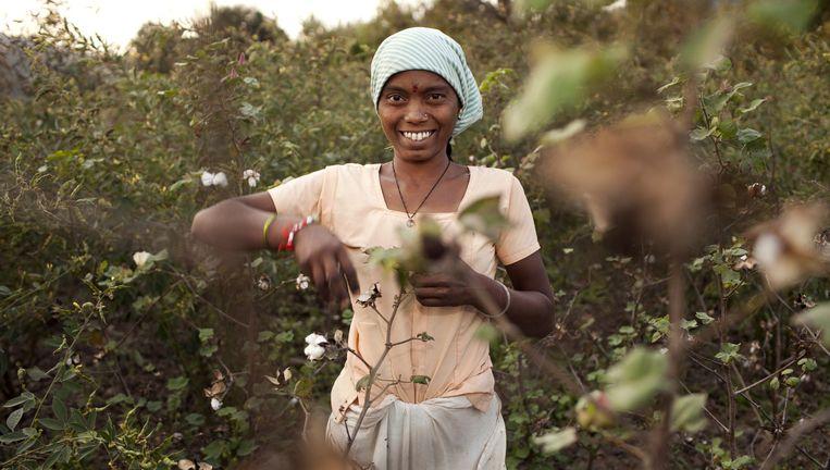 Een Indiase vrouw plukt katoen in de buurt van Adilabad. Ze is lid van de Chetna Organic Farmers Association, die werd gesteund door ICCO. Beeld Kathrin Harms/laif