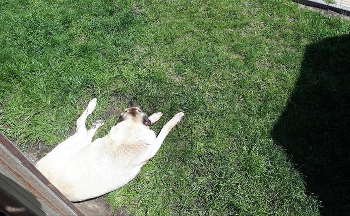 De verlamde hond lag pal in de brandende zon.