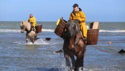 """Garnalenprijs keldert, want door warme zomer zit de zee vol: """"Dat gaat de consument merken"""""""