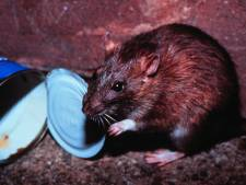 Expert over de rattenplaag in Assen: 'Ze zoeken weg naar buiten bij overpopulatie'