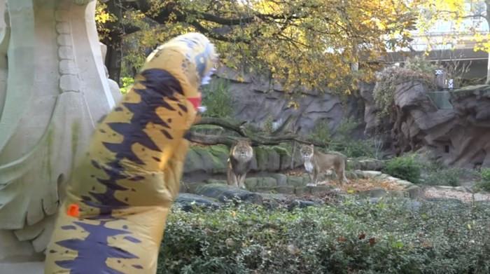 Al brullend proberen ze de aandacht van de leeuwen te trekken.