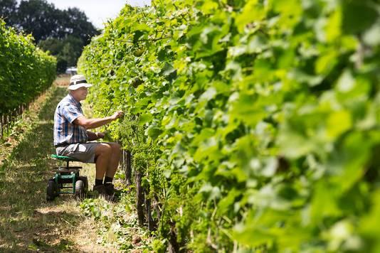 Job Huisman in zijn wijngaard in Drempt.