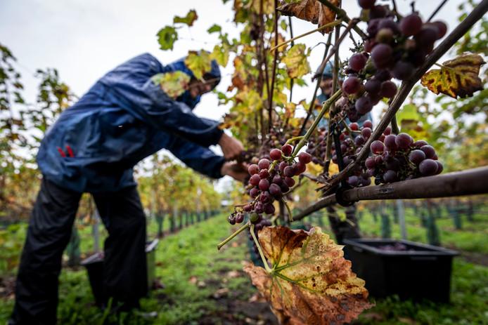 Op wijndomein Zurrick in Soerendonck worden de druiven geoogst.