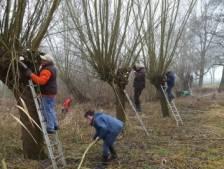 Vrijwilligers nemen bij Hasselt  120 knotwilgen onder handen