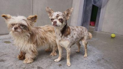 Politie redt 29 verwaarloosde chihuahuapups uit rijhuis