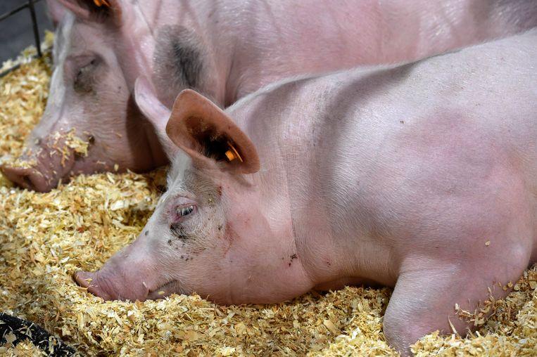 De varkens werden overgebracht naar een opvangcentrum