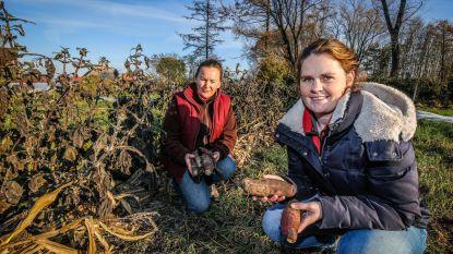 Bioboer Karline kiest voor 'yacon', suikervervanger van de toekomst