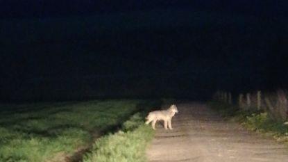 Al een vierde wolf in ons land