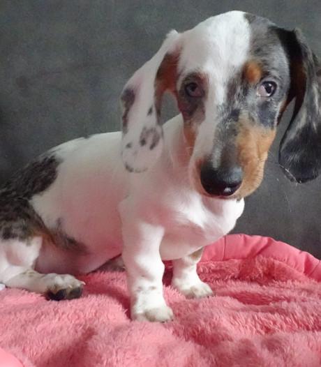 Doof en slecht zicht: Dierenopvang Almelo waarschuwt voor doorgefokte honden