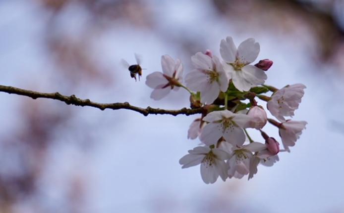 """Deze foto is gemaakt in het Laningpark in Oud-Beijerland op zondag 8 april. ,,Het was gezellig druk bij de bomen; veel mensen maakten een ommetje of kwamen net als ik foto's maken"""", mailt Lyonne Verschoor-Schuijer."""