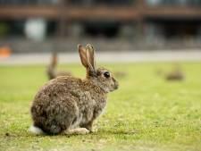 Condooms geen optie: nekslag voor Tilburgse konijnen