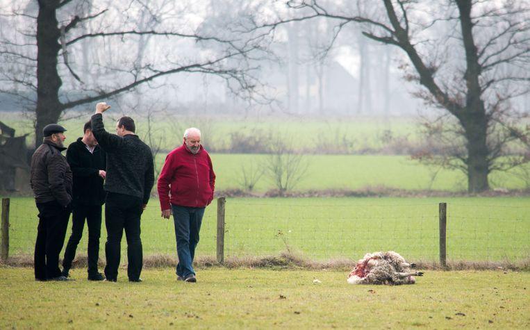 Marcel Neyens wandelt naar een van zijn dode schapen.